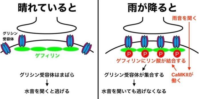 青山学院大学理工学部化学・生命科学科 平田普三教授らが、動物が行動を変える分子メカニズムを解明