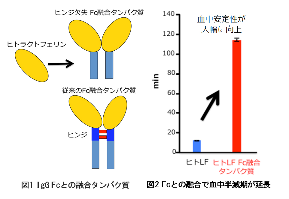 副作用の少ない抗がん剤などへ応用可能なヒトラクトフェリンFc融合タンパク質の特許を取得 -- 東京工科大学