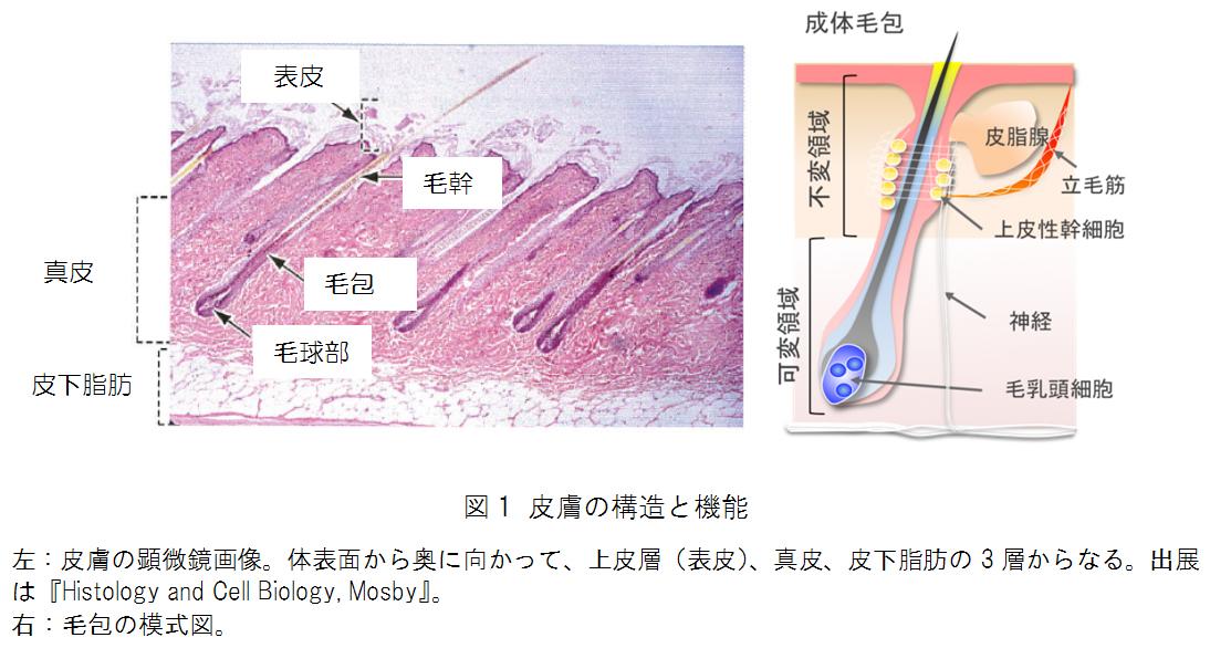マウスiPS細胞から皮膚器官系の再生に成功 ~難治性皮膚、脱毛疾患への応用に期待 -- 北里大学