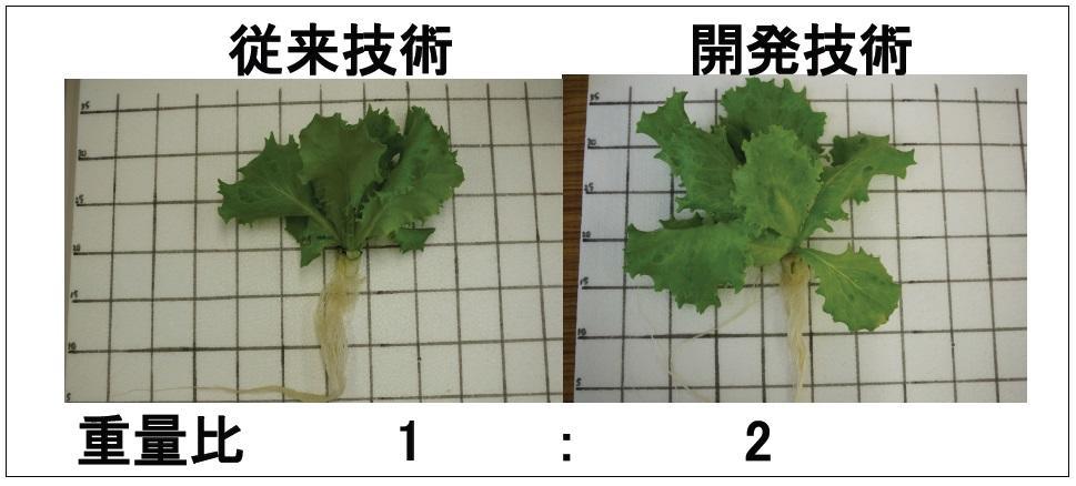 徳島文理大学がレタスの2倍速栽培法を確立 -- 夜間の光合成により生育を促進、2020年の社会実装を目指す