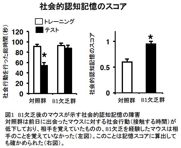 ビタミンB1欠乏による記憶能力障害のメカニズムを発見 -- ビタミンB1欠乏により脳の海馬が障害を受けて記憶できなくなる -- 東京農業大学