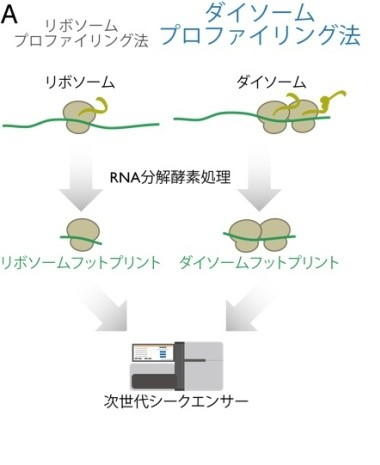 【京都産業大学】タンパク質の翻訳中に細胞の中でリボソームが交通渋滞を起こす要因を解明-- 米国科学誌Cell Reportsに掲載