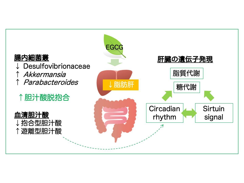 緑茶カテキンEpigallocatechin-3-gallate(EGCG)は腸内細菌叢と胆汁酸との相互作用を調節して脂肪性肝疾患を改善