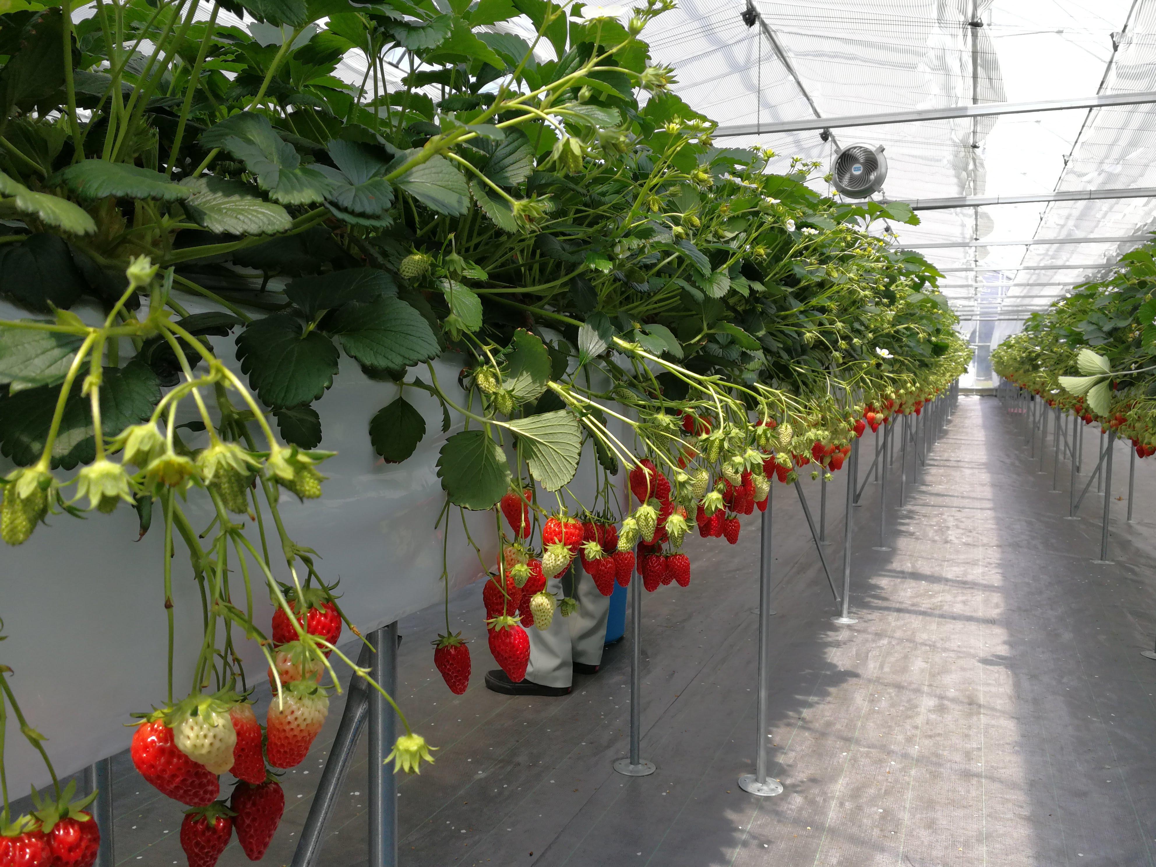 【産学連携研究の最前線】ICT・IoTを活用したおいしい「いちご」栽培に関する実証研究が産学連携で進行中。新たな農業従事者の担い手確保につながる次世代型の営農システムとして期待 。 -- 金沢工業大学