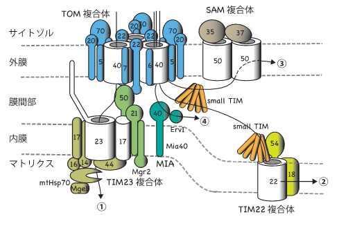 【京都産業大学】ミトコンドリアにバレル(円筒)型膜タンパク質を組み込む仕組みを解明 -- 英国科学誌「Nature」(オンライン版)に掲載