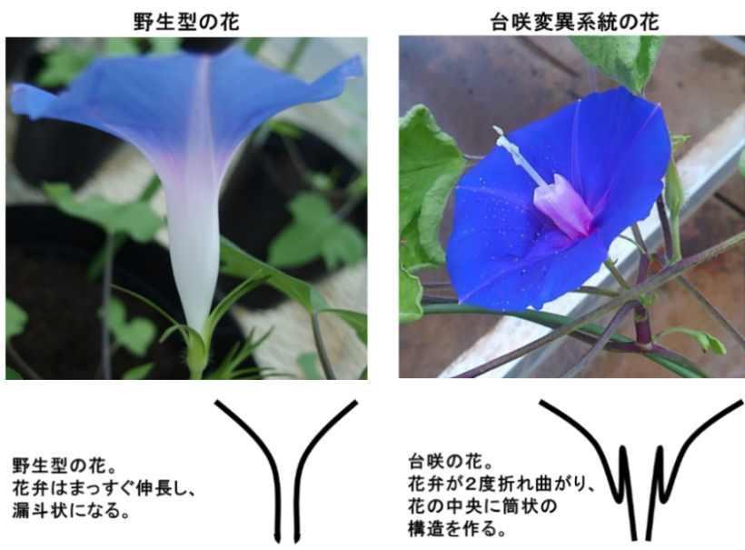【京都産業大学】アサガオの花びら(花冠)がまっすぐに伸びる力学的な仕組みを解明 -- 国際学術誌「Communications Biology」に掲載