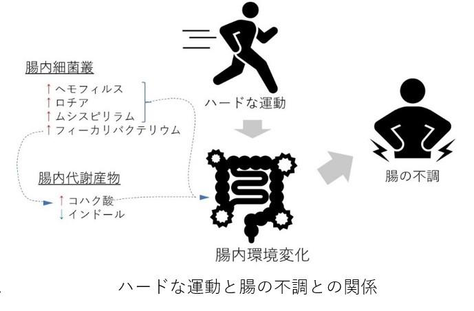 ''ランナー下痢''の解明に手掛かり 長時間・高強度な運動で腸内細菌に変化 -- 摂南大学・井上教授ら