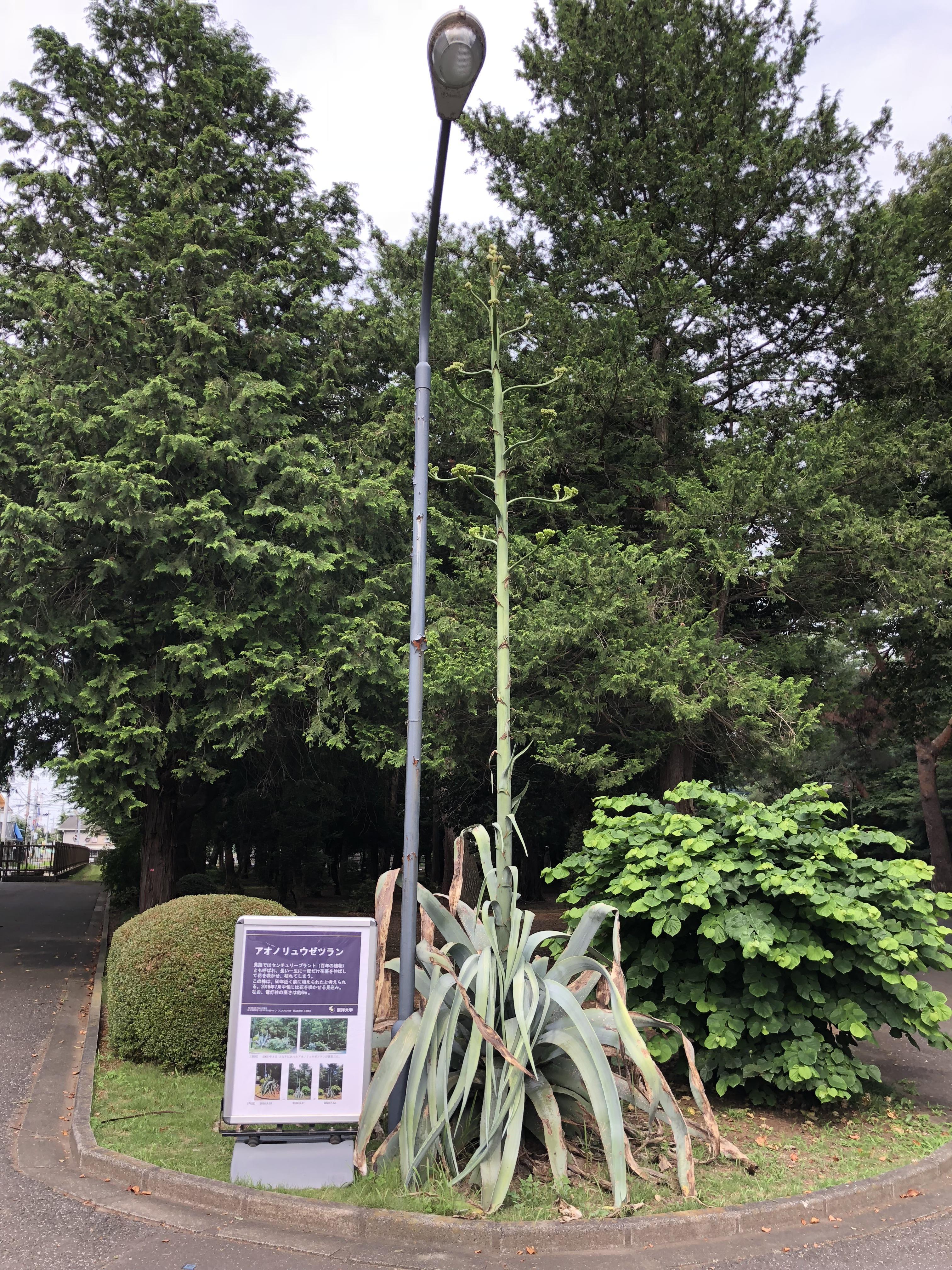 50年の一生に一度だけ咲くと言われている巨大植物「アオノリュウゼツラン」が東洋大学川越キャンパスでまもなく開花