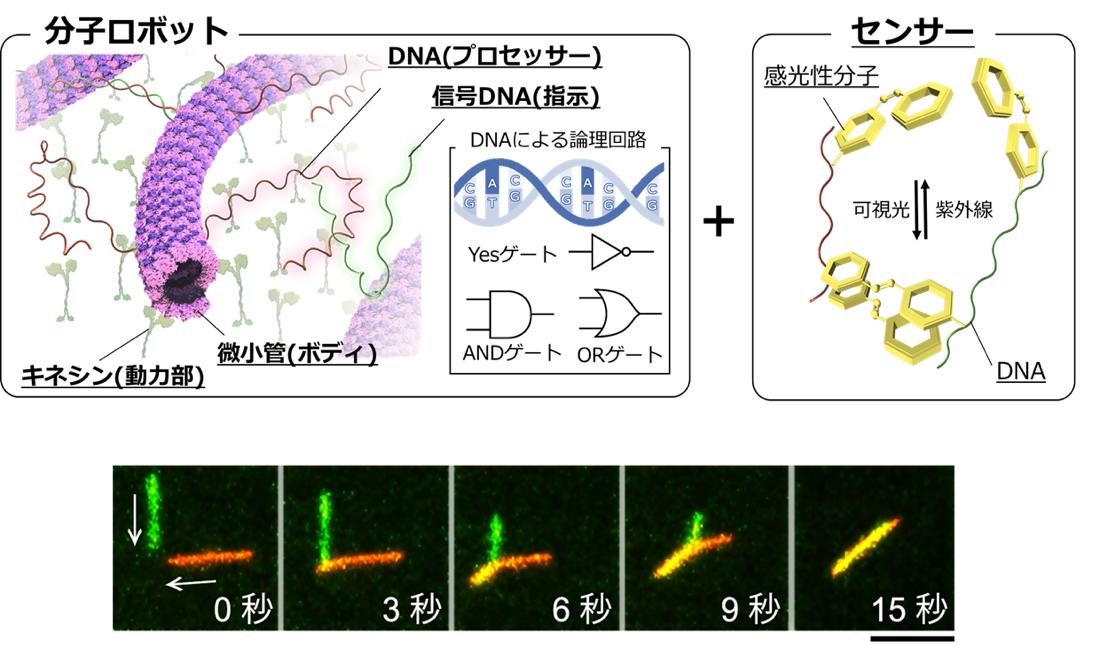 関西大学と北海道大学が、特定の信号で自発的に「群れ」をつくる分子ロボットの共同開発に成功。