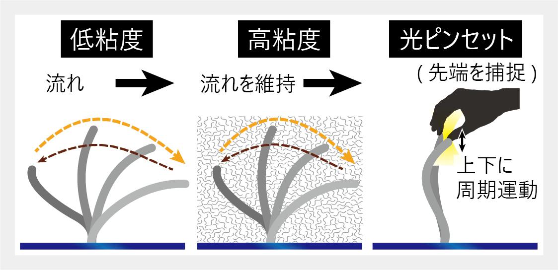 光ピンセットで気管繊毛を ''そっとつまむ'' -- たった1本の繊毛がもつロバスト設計を可視化