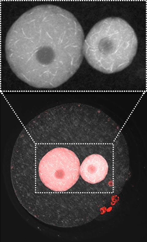 世界初!命の始まりである受精卵に新たな核構造を発見 動物発生の謎に迫る研究成果