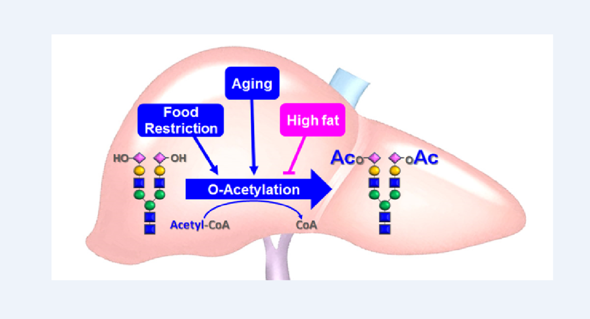 加齢と食環境によって体内の「糖鎖」が変化することを証明 糖鎖を軸とするアンチエイジング研究への展開に期待