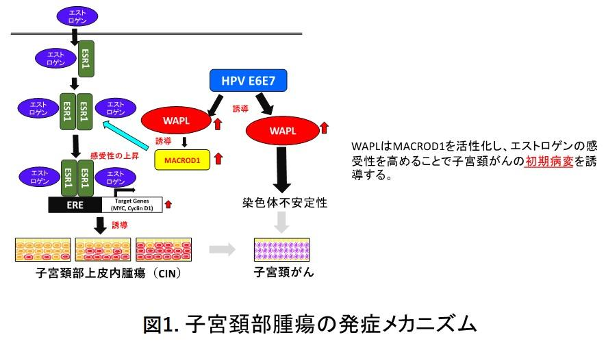 東京医科大学分子病理学分野の黒田雅彦主任教授の研究チームがHPVが関与しない子宮頚がんの発症メカニズムを解明 -- 世界ではじめて子宮頚部前がん病変のモデルマウスの作製に成功 --