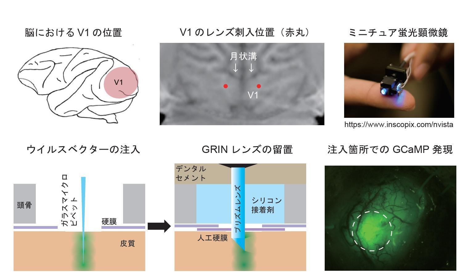 【玉川大学脳科学研究所 研究成果】ニホンザルの視覚野から多数の神経細胞のイメージングに成功! -- 微小内視鏡カルシウムイメージング法を用いた先進的な成果 -- 科学雑誌''Scientific Reports''に論文を発表
