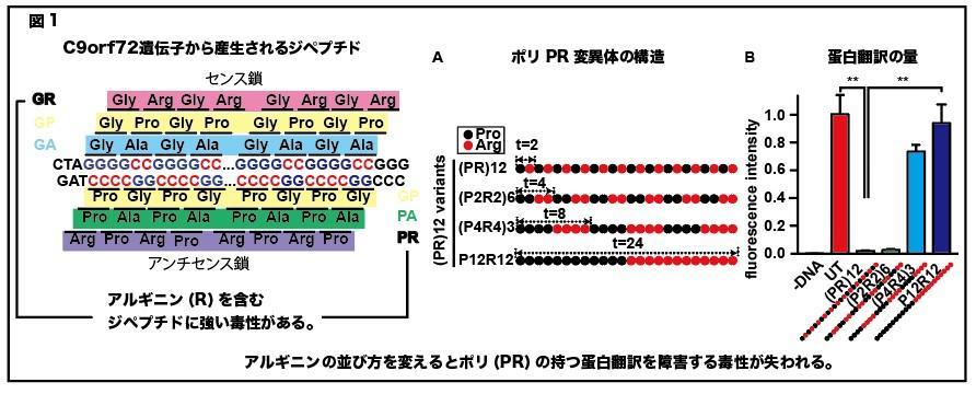 東京医科大学分子病理学分野黒田雅彦主任教授・金蔵孝介講師らの共同研究グループが、「筋萎縮性側索硬化症(ALS)原因蛋白の毒性メカニズムを解明 ~ALSに対する治療法開発への応用に期待~」