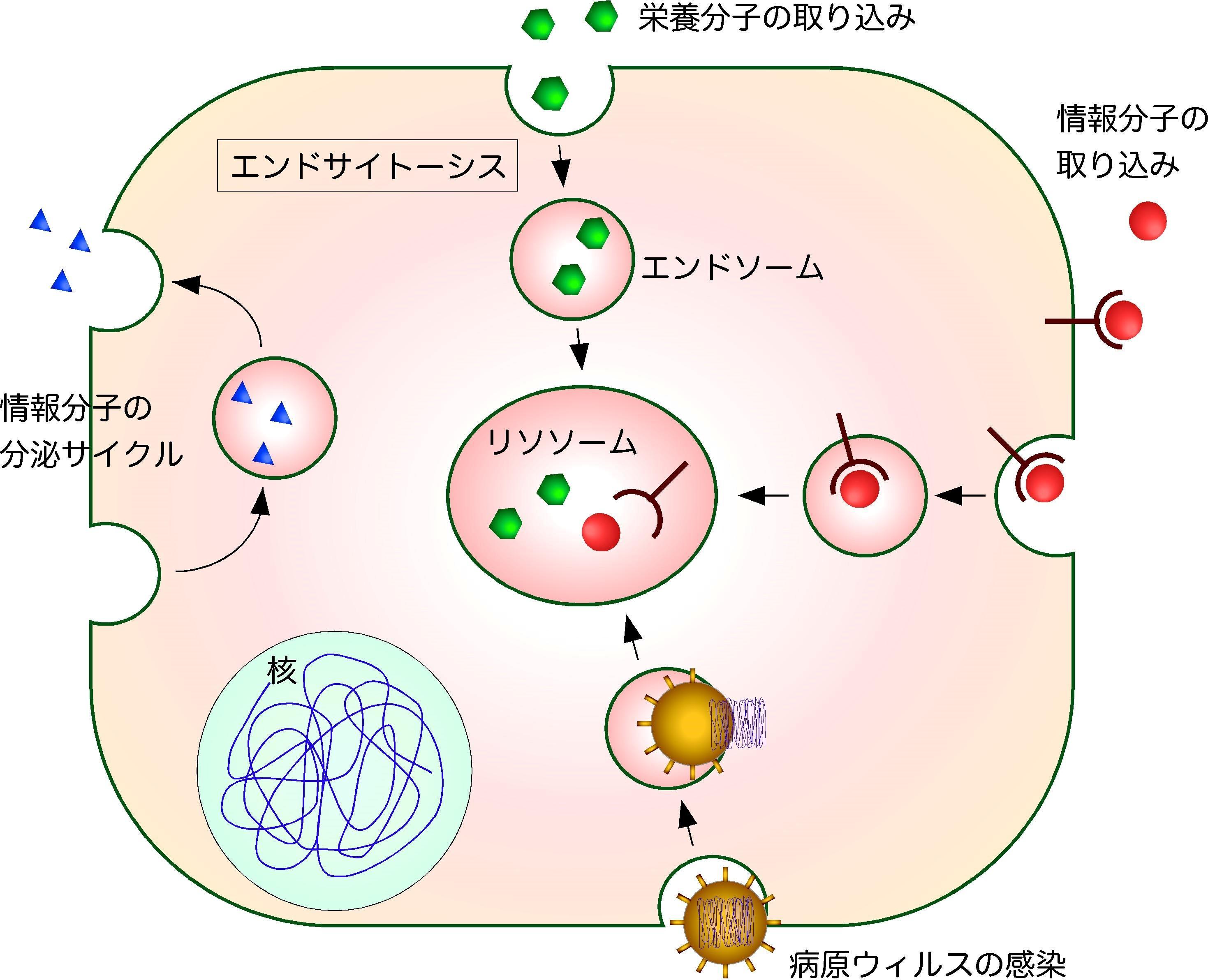 細胞に取り込まれた分子を選別する細胞内小器官エンドソームの新しい形成メカニズムの発見 ~ゴルジ体によるエンドソーム形成の制御機構を解明~ 東京工科大学
