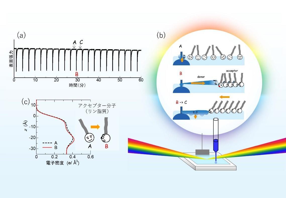 世界初!「マランゴニ対流」による分子のリズミカルな運動を観測