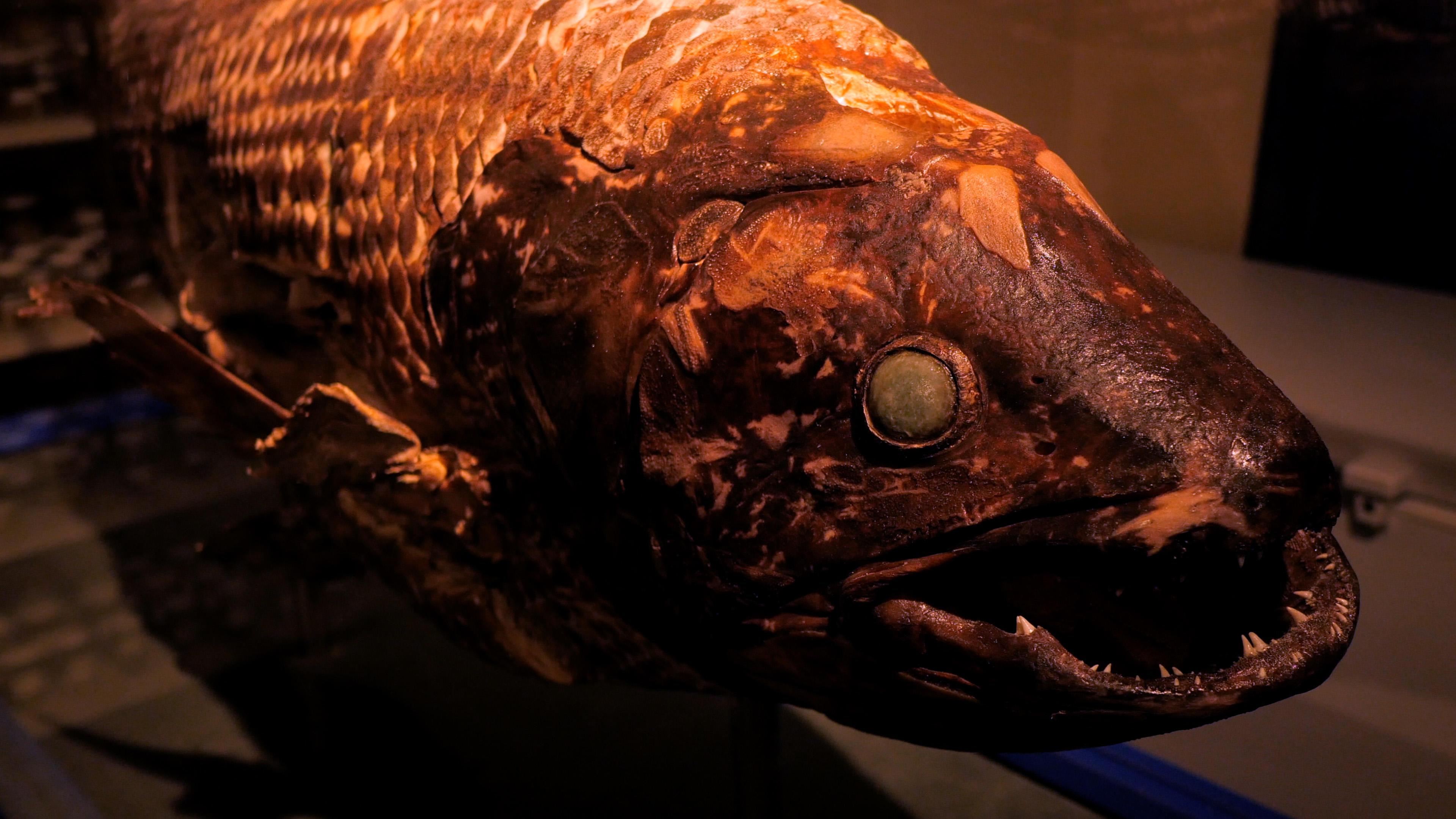 生きた化石シーラカンスの標本を展示 -- 北里大学海洋生命科学部