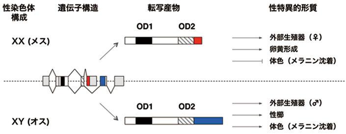 【玉川大学・富山大学・基礎生物学研究所 共同研究成果】シロアリの性決定遺伝子は特殊な進化を遂げている ~高度な社会性の進化と関係?~