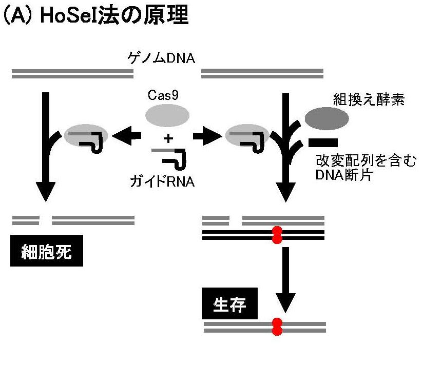 新しいゲノム編集技術HoSeI法を開発 ‐‐ HoSeI法により細菌適応増殖は複数遺伝子が相互作用するエピスタシス現象であることを実証 -- 法政大学