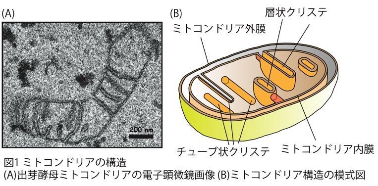 ミトコンドリアのクリステを作る仕組みの一端を解明 -- 京都産業大学