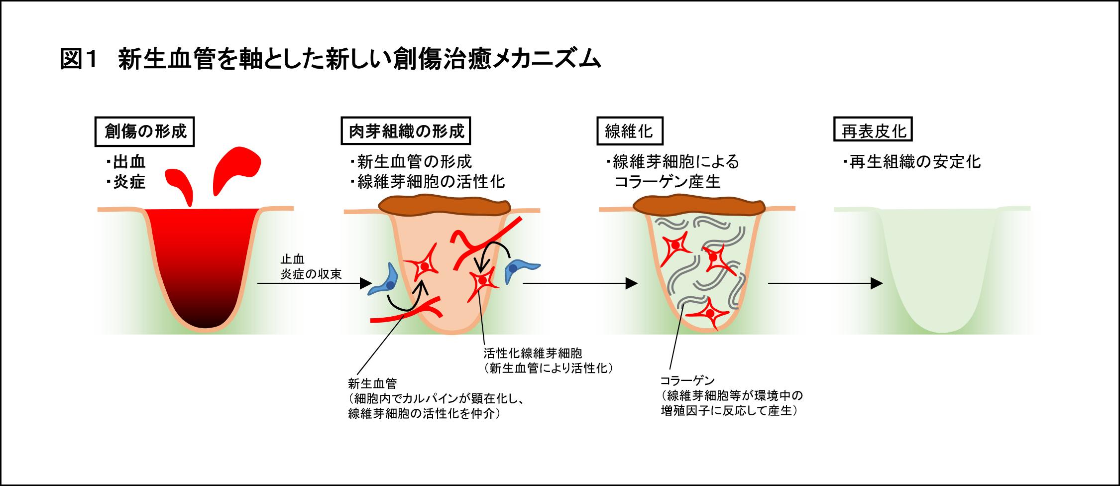 傷の治癒に関する新たな仕組みを解明 -- 毛細血管が皮膚の修復をコントロールする -- 昭和大学