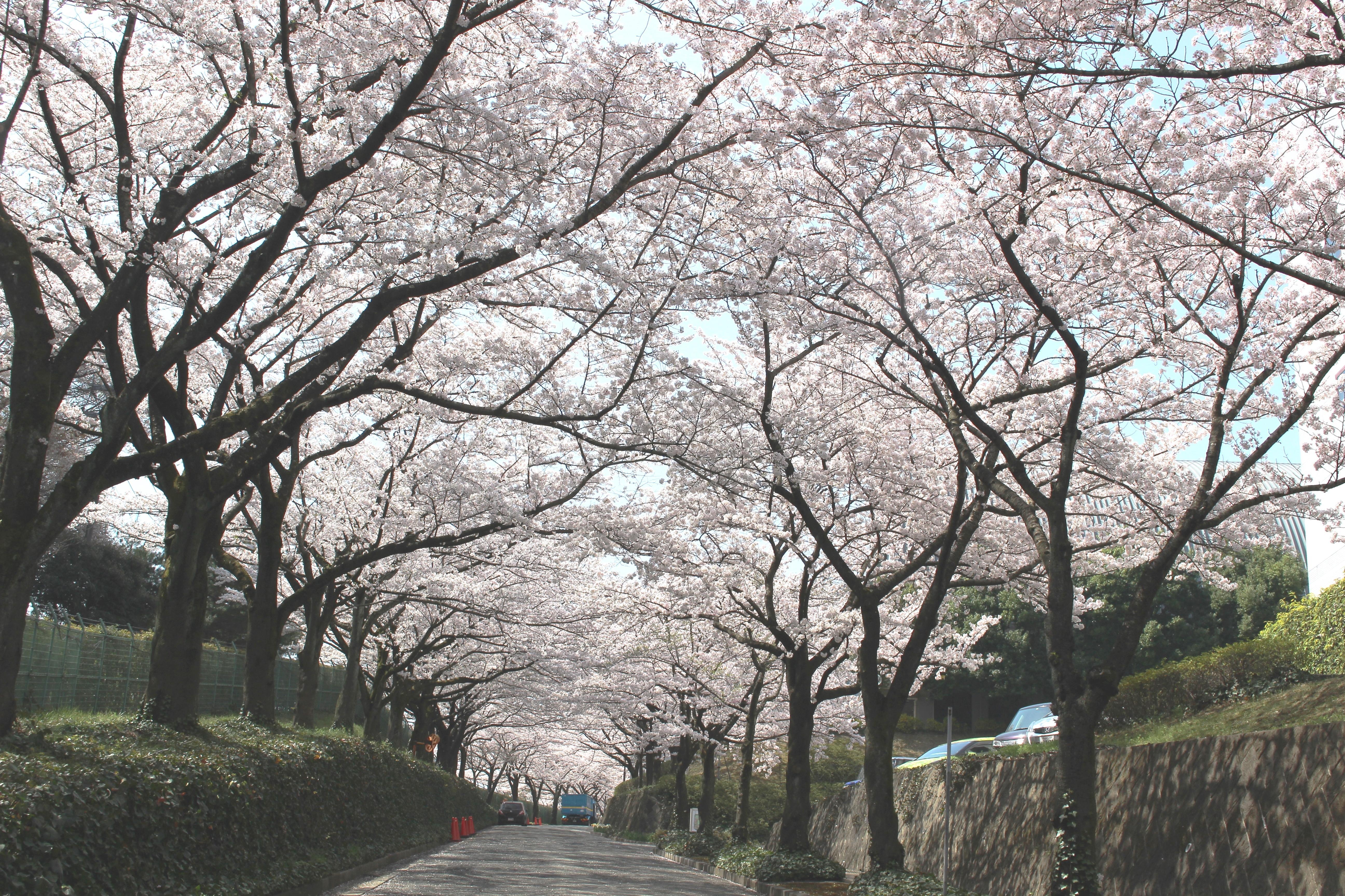 大妻女子大学が3月30・31日にお花見イベント「大妻''多摩さくら坂''」を開催 -- 多摩キャンパスの桜並木を地域に開放